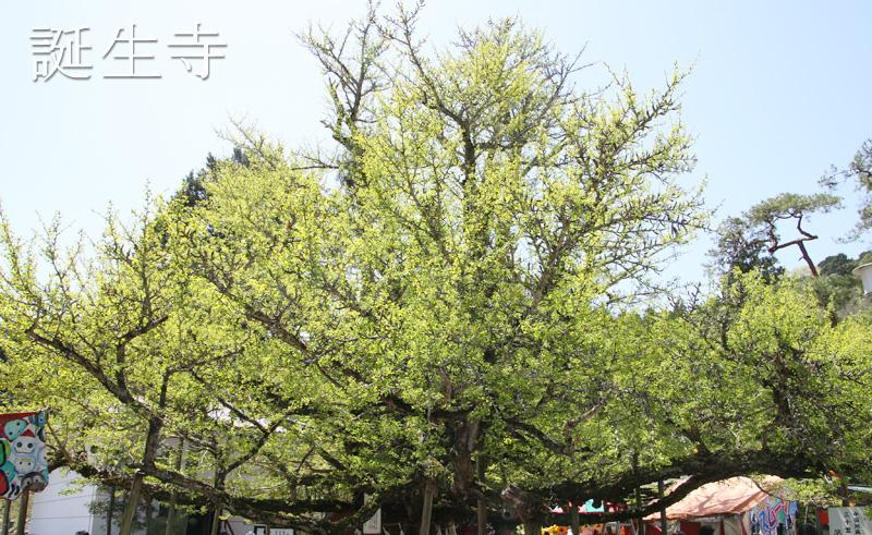 樹齢850年以上