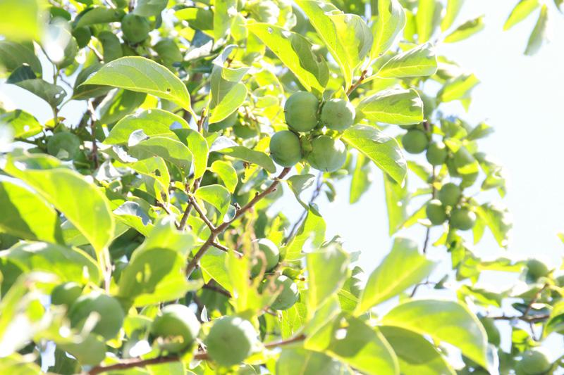 まだ緑の柿
