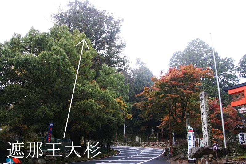 杉の木はこれ