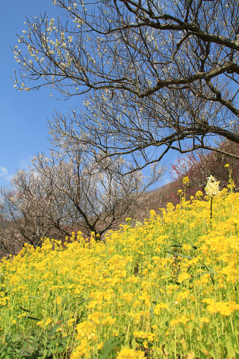 青空と梅と菜の花