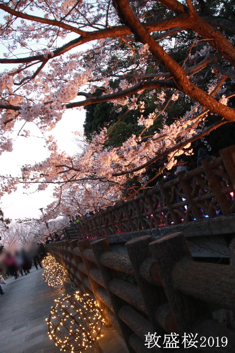 夕方の敦盛桜