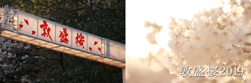 須磨浦一帯に咲き誇る敦盛桜